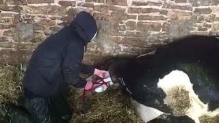 Calving A Cow