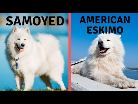 Samoyed Vs American Eskimo