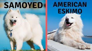 Samoyed Vs American Eskimo