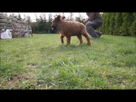 briard puppies- first training obedience