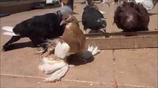 Volski Güvercinleri Russian Volsky Pigeons Ankara/Turkey