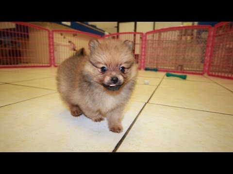 SABLE POMERANIAN PUPPIES FOR SALE GEORGIA LOCAL BREEDERS