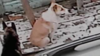 Верность беспородных бродячих собак поразительна! И о нашем доме.  06. 04. 2017