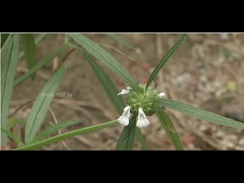 'Thumbai' Plant fights poisonous bites of bugs  | Poovali | News7 Tamil