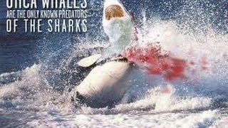 Great White Sharks Eat Whale Video