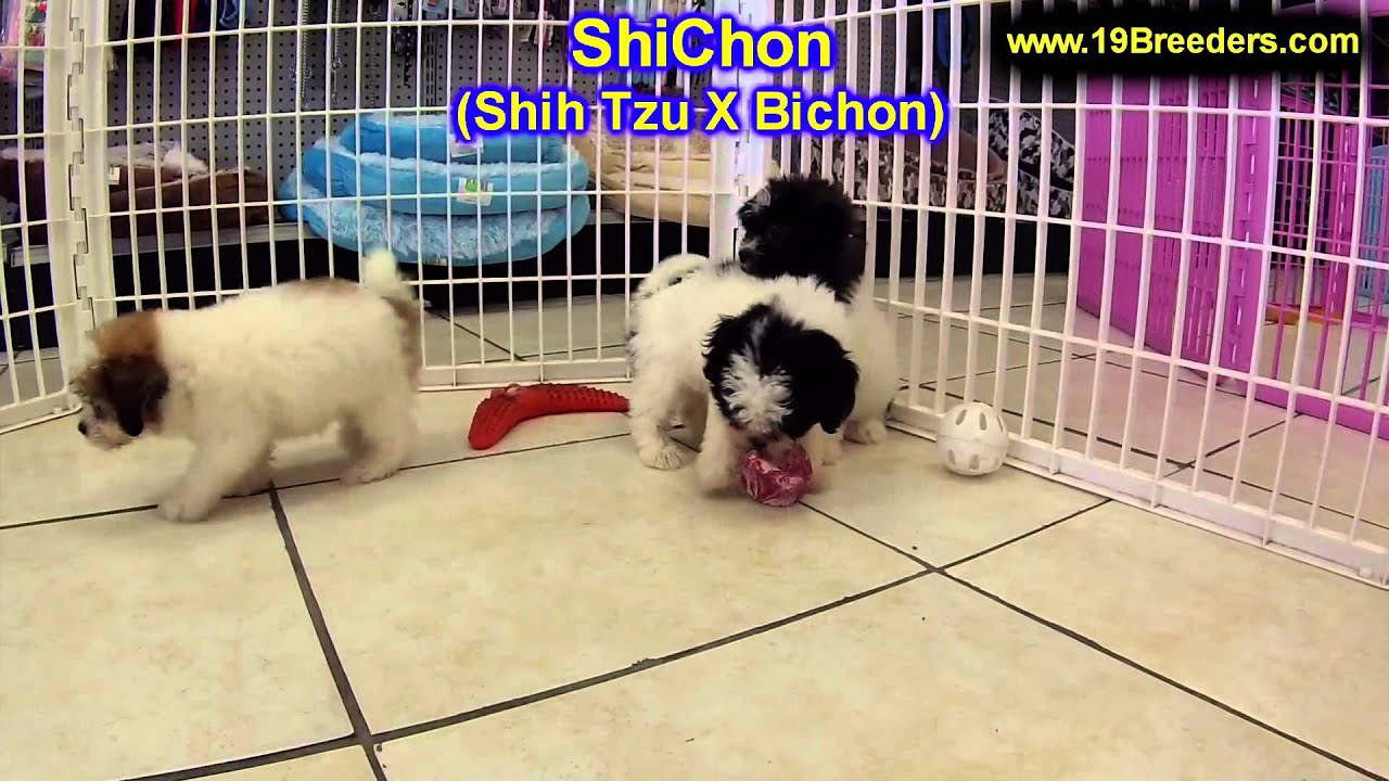 Shichon Puppies For Sale In Billings Montana Mt