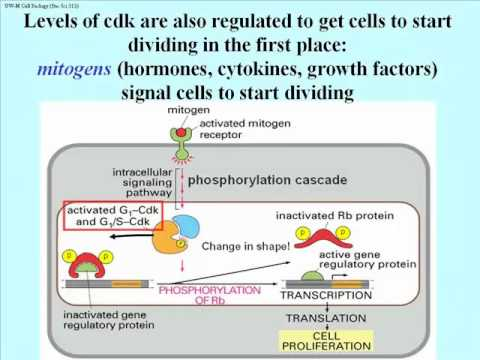 Cell Division: Cyclins, MPF, Apoptosis and Cell Cycle Checkpoints
