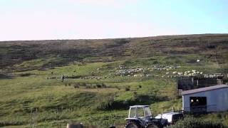 Heatherlea Herding Sheep