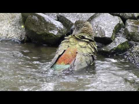 Kea having a bath (New Zealand Alpine Parrot)