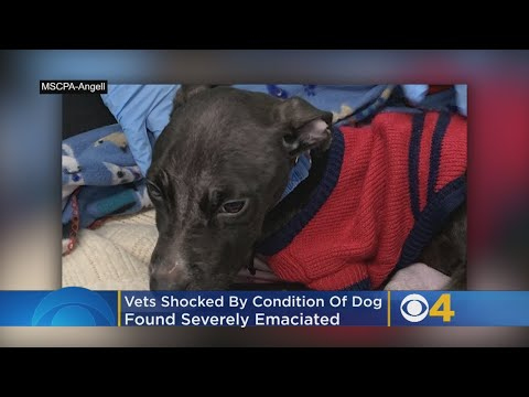 Pet Central - Glitch, an emaciated pit bull, rescued near a Massachusetts college campus