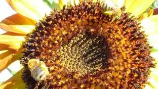 The Beautiful Dance of The Honey Bee with in a Sunflower