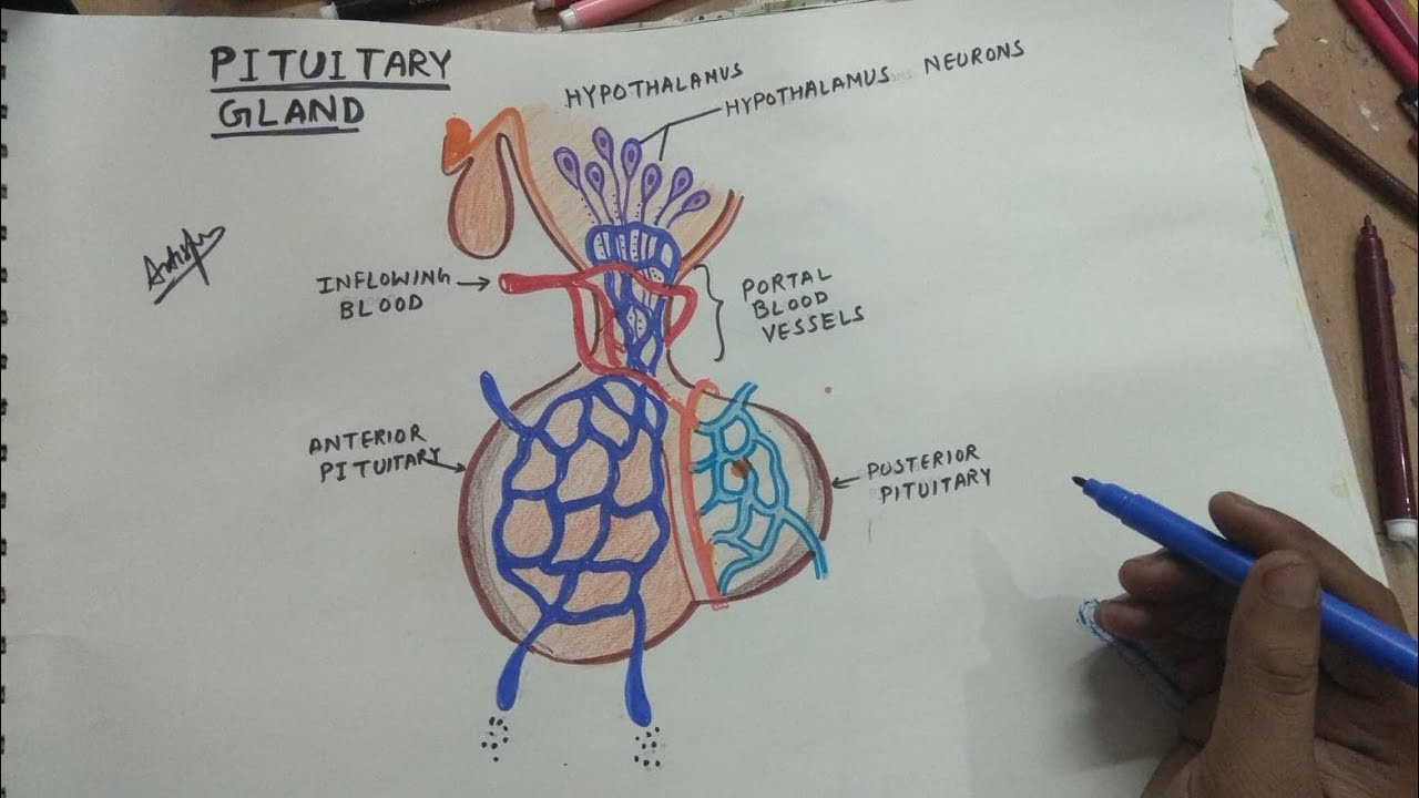 How To Draw Pituitary Gland Youtube