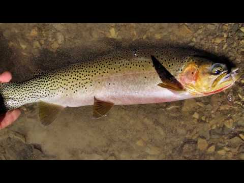 Montana Fly Fishing, Glacier National Park &  Wild Cutthroat Trout In HD