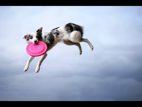 .:: Border Collie Tokki || frisbee, tricks & fun ::.