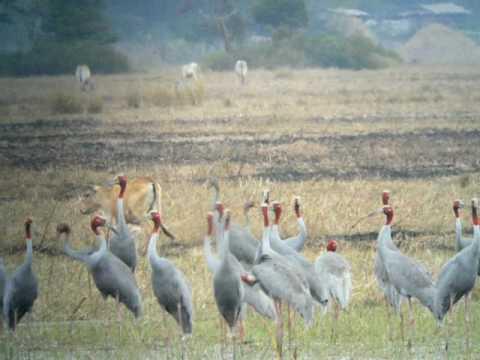 Eastern Sarus Cranes, Cambodia 2009