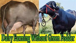 बिना हरे चारे के डेरी फार्मिंग जाफराबादी से शरू करें या मुर्रा  Dairy Farming without Green Fodder