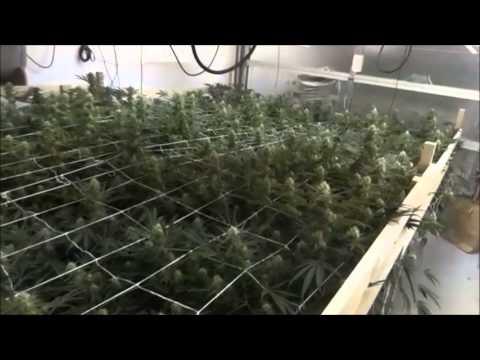 A Indoor 420 Cash Crop Growing Marijuana Cannabis called (Green Crack) on Day 23
