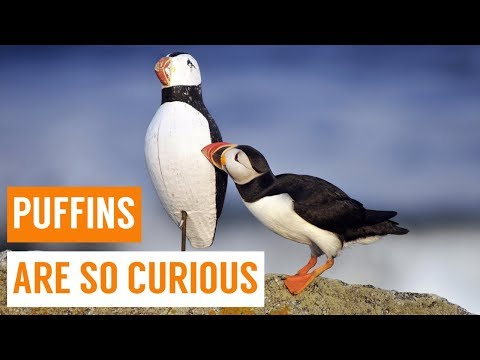 Cute Baby Puffins Compilation