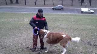 Московская сторожевая.  Видео урок с молодой собакой.