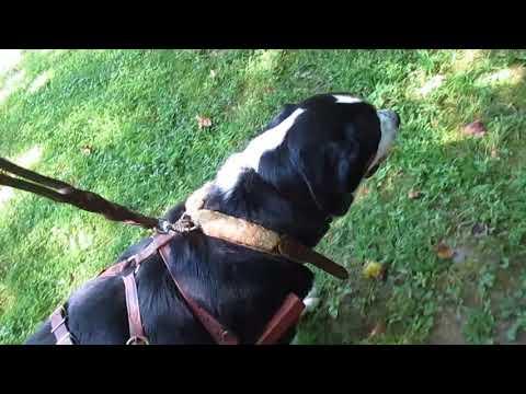 Greater Swiss Mountain Dog carting wood B