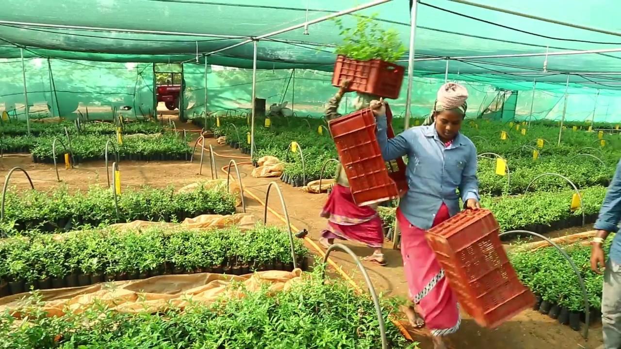 natural farming nursery pomegranate