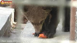 Нюра - провокатор, Юра - образец терпеливости! Семья медведей. Тайган. Bear family. Taigan.
