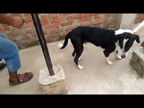 Sedating A Dog Before Sterilization-6