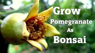 Grow pomegranate As Bonsai