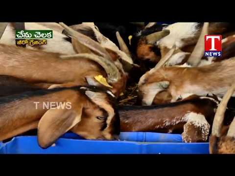 Farmer Vishnu Vardhan reddy about Modern Goat Farming | Chenu Chelaka | TNews Telugu
