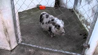 Teeny Tiny Pigs