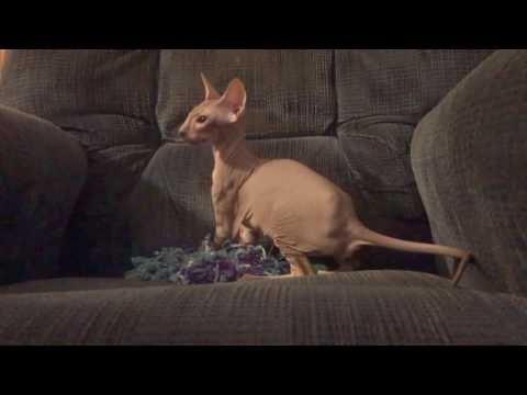 Born Bald Tabby Peterbald Kitten playing like Cheerleader with shaker pom