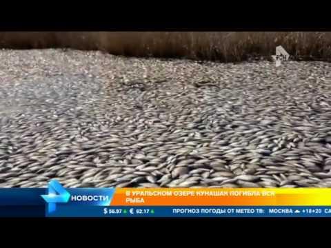 Кладбище рыбы в одном из самых чистых озер Урала умерла вся рыба