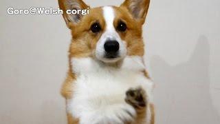 Goro Eats Pork & Cartilage. / 軟骨付き豚肉を食べるゴローさん 20140625 Goro@welsh Corgi コーギー