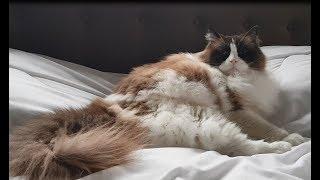 もはやリア獣だもんだから。断固としてベッドから動きたくないラグドールのティモ