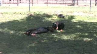 Akc Doberman Pinscher Stud Service, Champion Sired, Breeder, Puppies For Sale