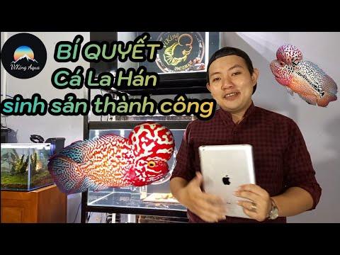 Hướng dẫn chi tiết cá La Hán size 2 ngón sinh sản.