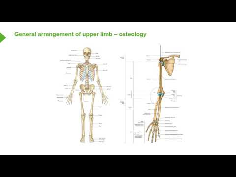 Osteology of the Upper Limb – Bones and Surface Anatomy of Upper ...