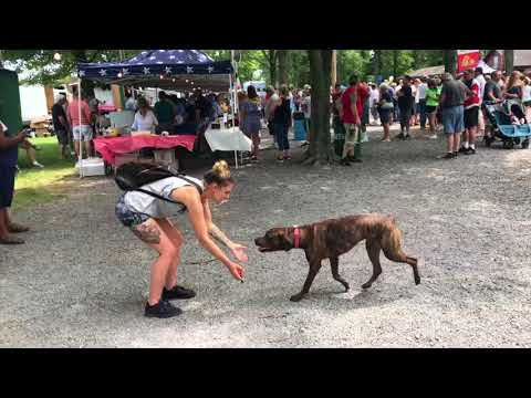 1-Year Old Pit Bull Boxer Mix, Diesel! Pit Bull Dog Training||| Lehigh Valley Dog Trainers