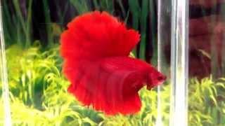 Red rose tail HM Halfmoon male Betta fish.