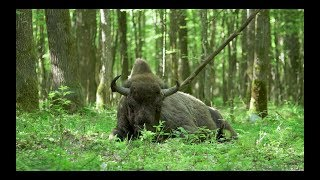 Saving Bialowieza: Nature's last line of defence