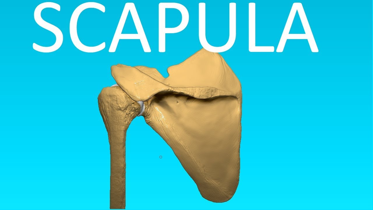 Shoulder Blade Or Scapula Anatomy Bones 3 Youtube