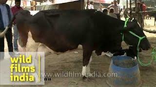 Hybrid cattle breeds : major attraction of Sonepur Fair, Bihar