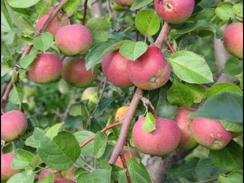 Плодовые деревья на сыром участке - советы Алины Рабушко