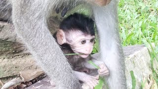 Newborn Monkey - Cute little baby monkey tries to eat and play