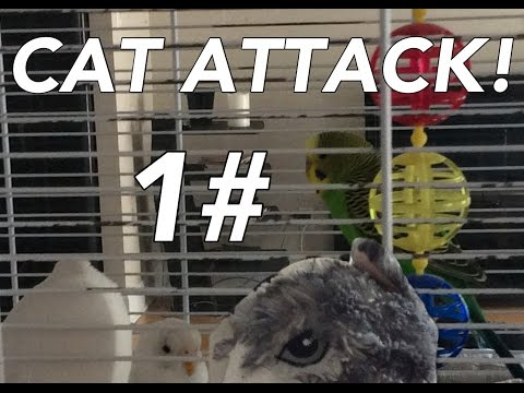 CAT ATTACK!!!!! | a story of 2 lovley budgie birds | snow & apple 1#