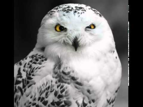 Snowy Owl Facts - Facts About Snowy Owls - YouTube