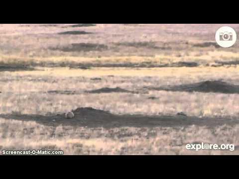 Canadian Prairie Dogs-Saskatchewan Province-16 Nov 2013