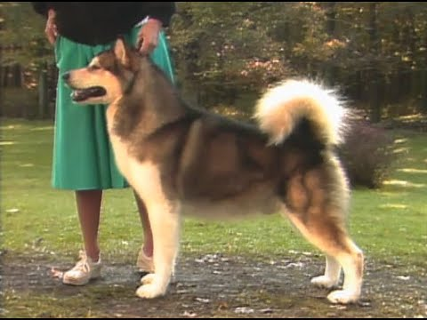 Alaskan Malamute AKC Dog breed series
