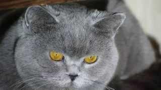 британская кошка вика