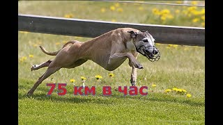 Какой скоростью может бежать самая быстрая собака в мире??? Собачья гонка